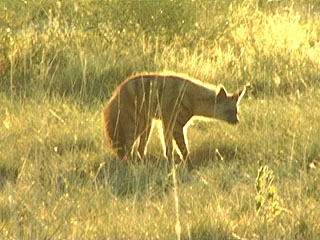 Aardwolf sighting as it hunted at dusk