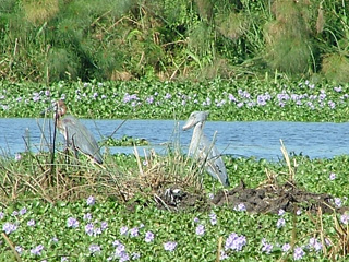 Shoebills among the reeds