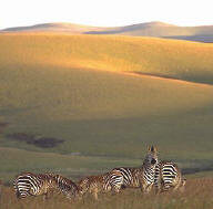 Zebras in the Nyika Plateau National Park