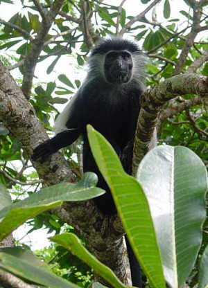 Colobus Monkey - Photo kindly provided by the Colobus Trust