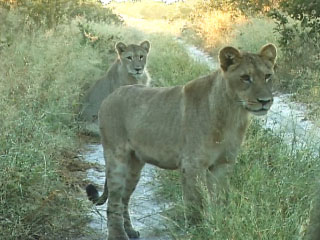 Lions patrolling their territory