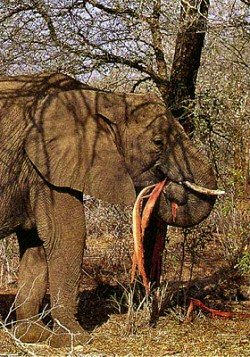 An elephant destroying the Acacia Tree by eating it's bark.