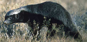 The honey-badger - Photo taken by Daryl and Sharna Barfour
