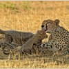 Cheetah mother with cubs