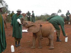 Orphan Elephants at the Sheldrick Foundation